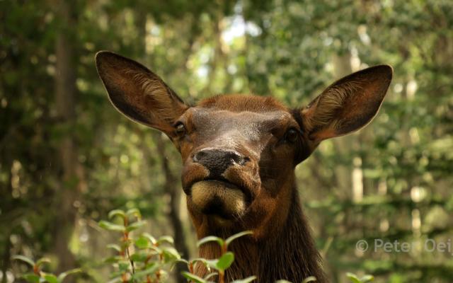 canada 2017_deer
