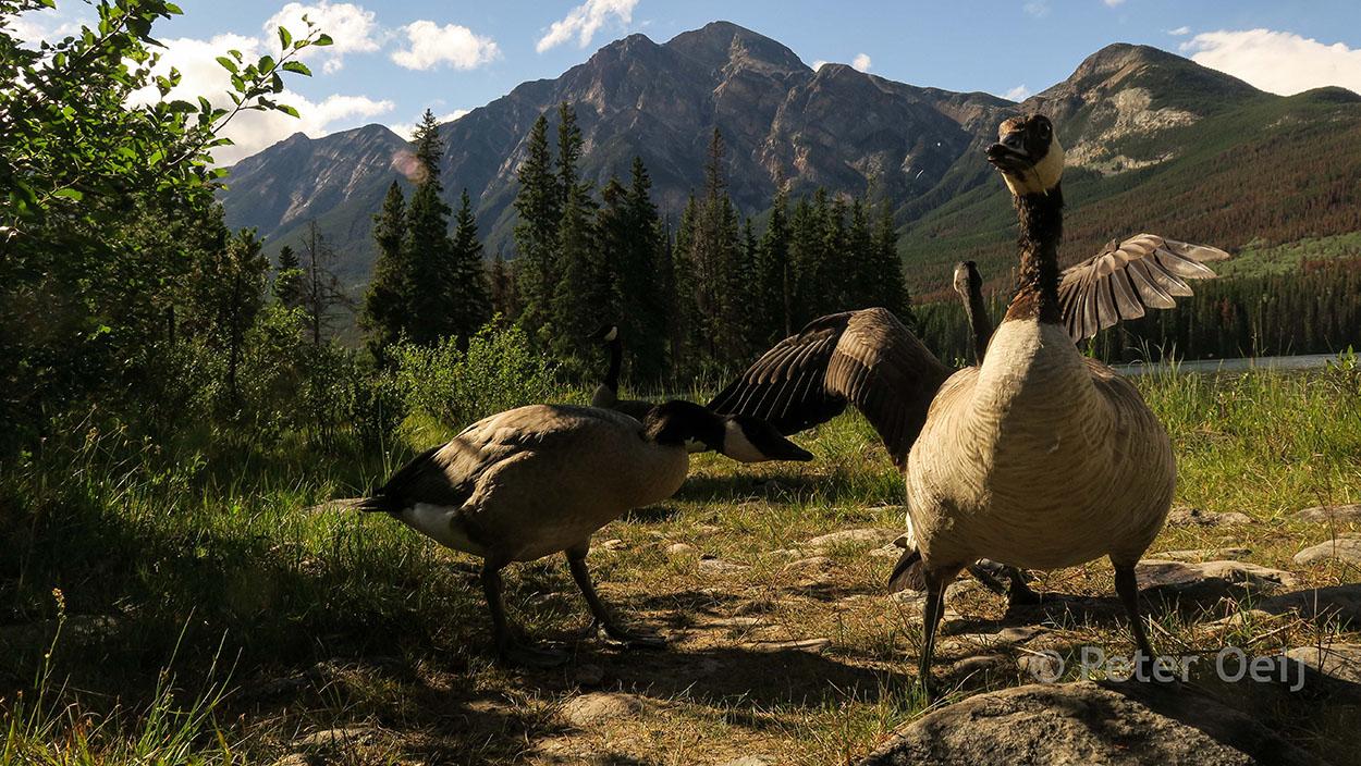 canada 2017_geese mountain