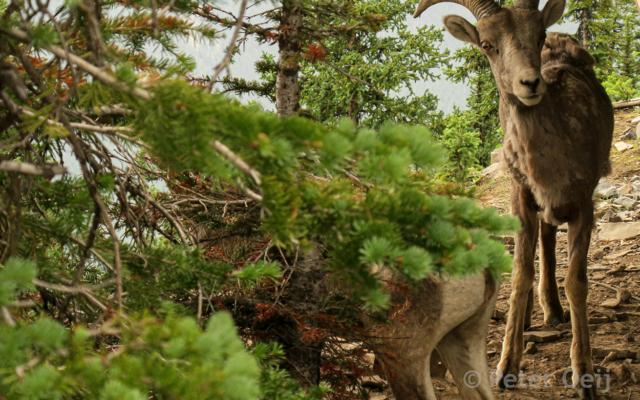 canada 2017_mountain goat