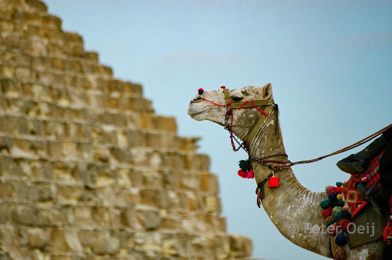egypt - 2005_camel pyramid