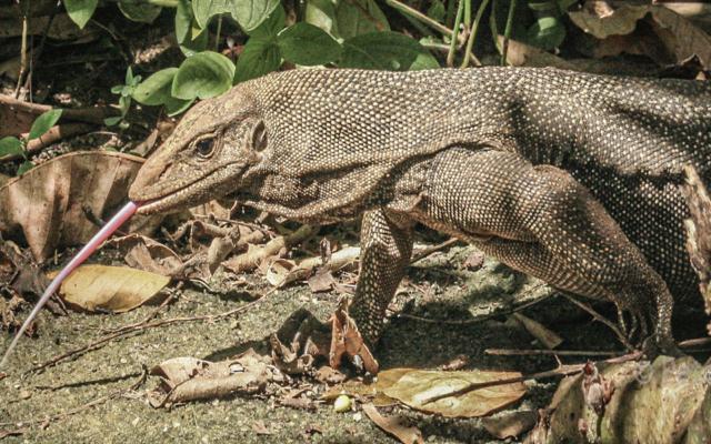 malaysia  2009_monitor lizard
