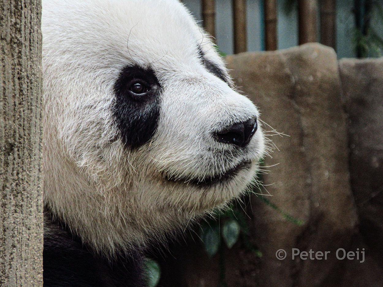 malaysia 2016_panda bear_zoo KL