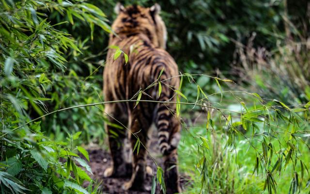 netherlands 2008_sumatran tiger_zoo