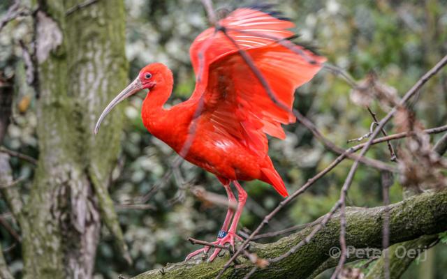 netherlands 2008_red ibis_zoo