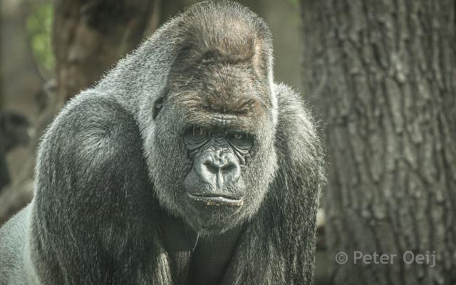 netherlands 2010_gorilla_zoo