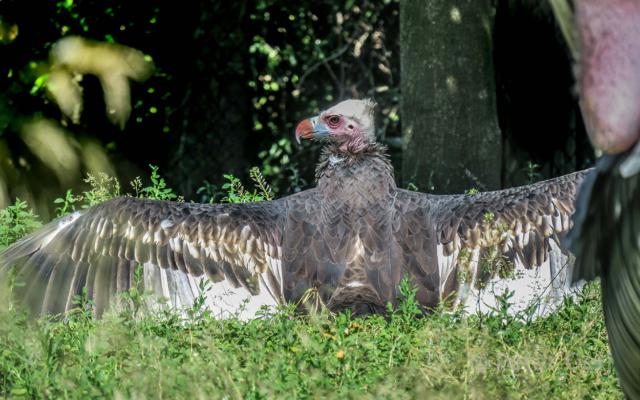 netherlands 2017_vulture_zoo