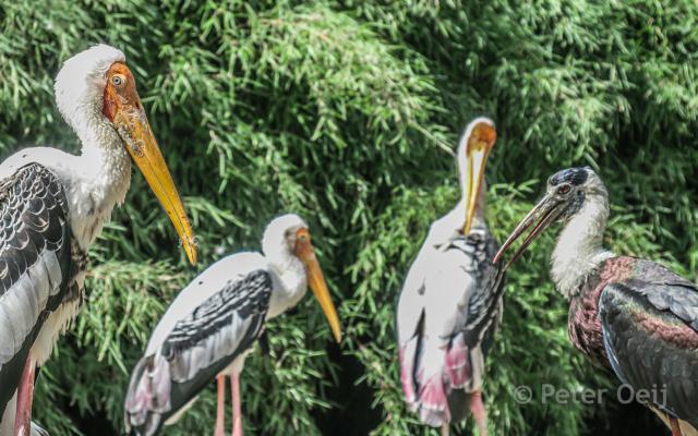 netherlands 2017_birds_zoo