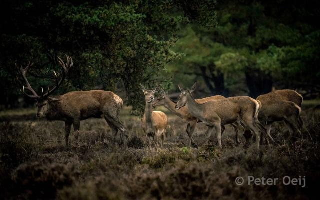 netherlands 2019_deer_hoge veluwe