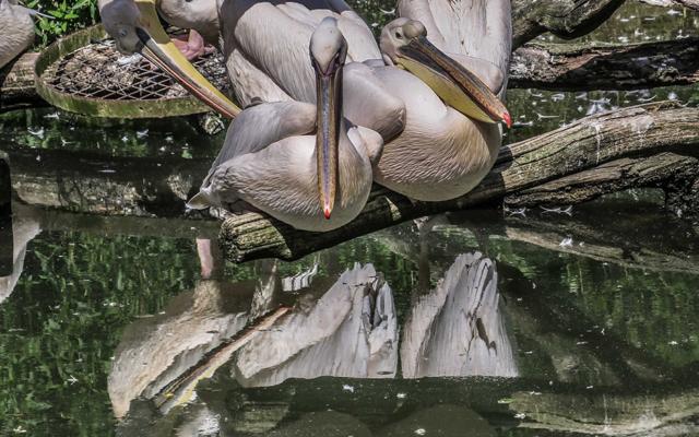 netherlands 2019_pelicans_beekse bergen