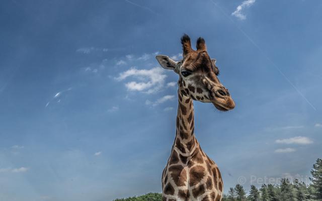 netherlands 2019_giraffe_beekse bergen