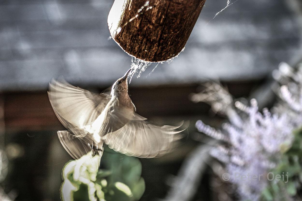 s-africa 2006_humming bird