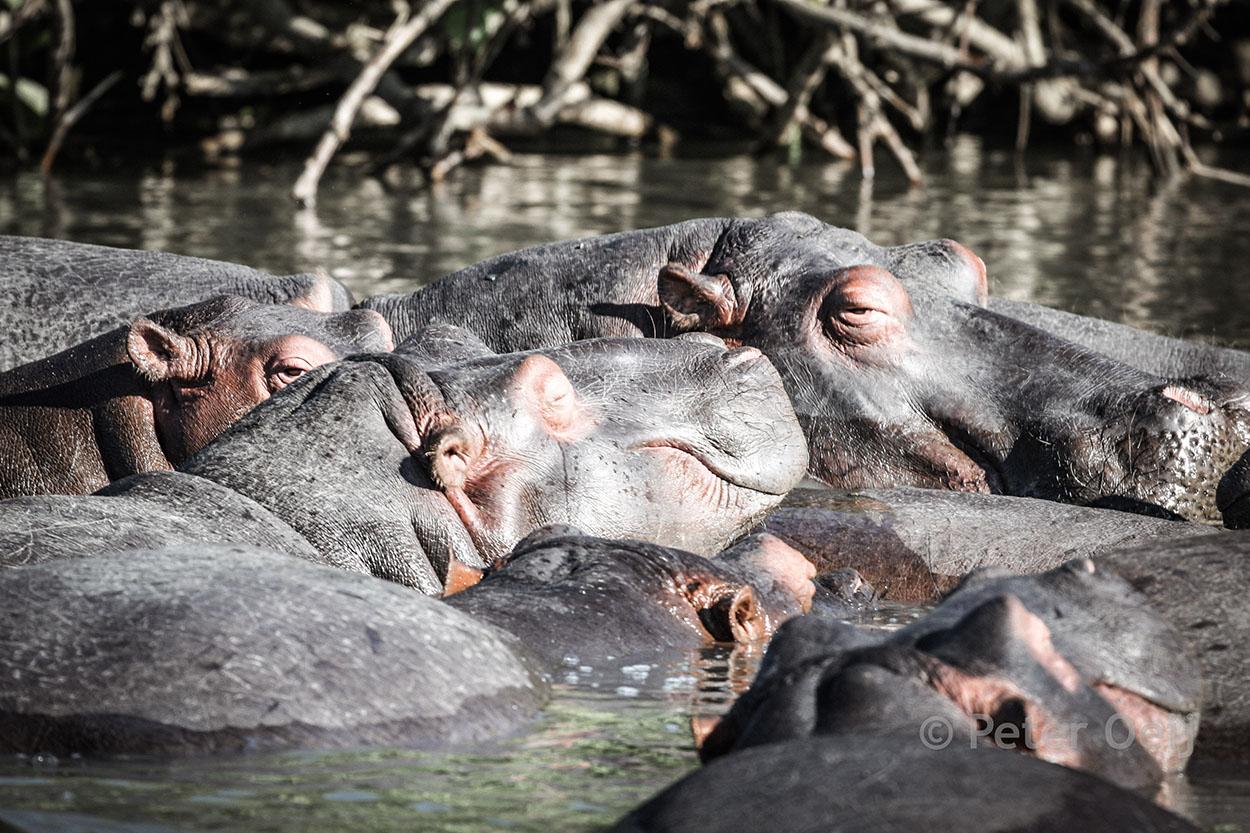 s-africa 2006_hippos