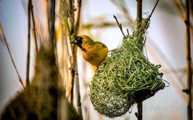 s-africa 2006_weaver bird