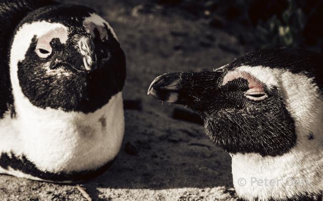 s-africa 2006_pinguin