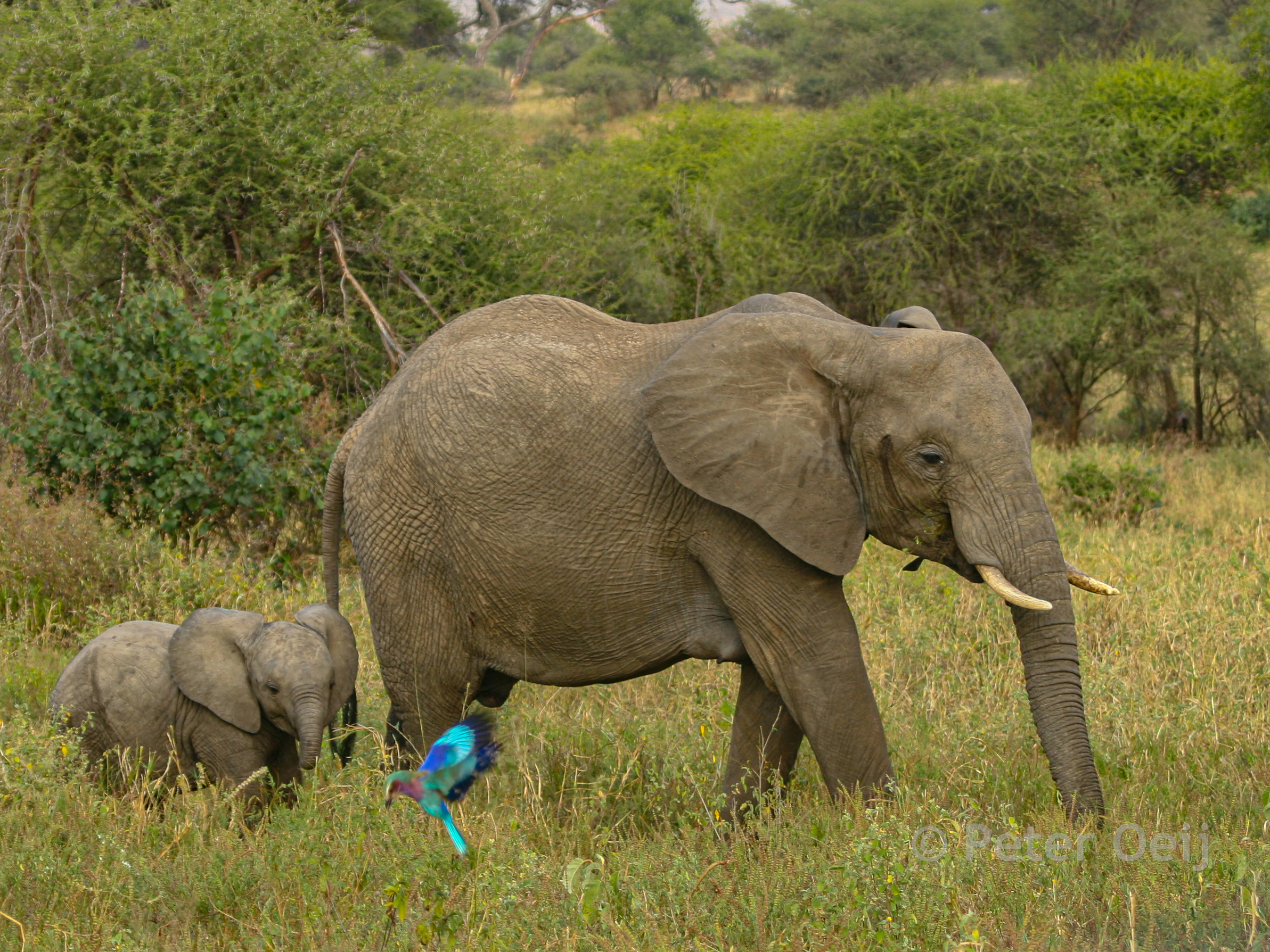 tanzania - 2012-mother and baby elephant