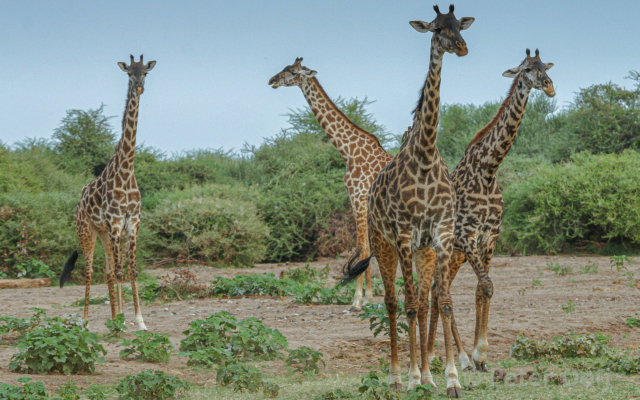 tanzania - 2012-giraffes