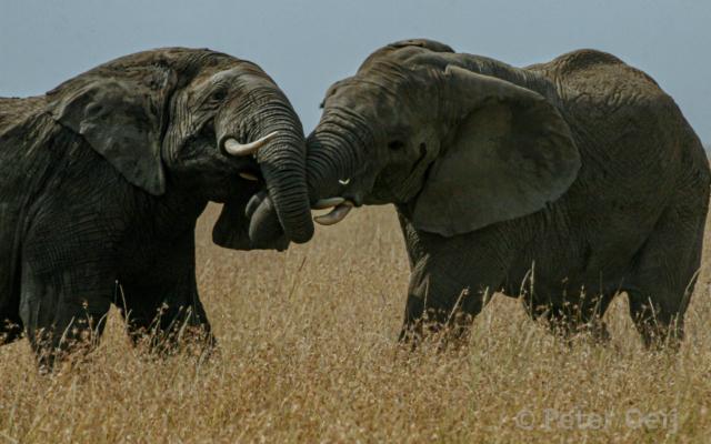tanzania - 2012-elephants fighting