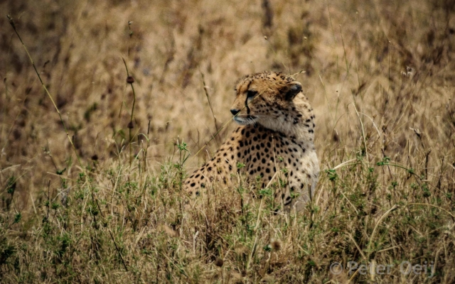 tanzania - 2012-cheetah