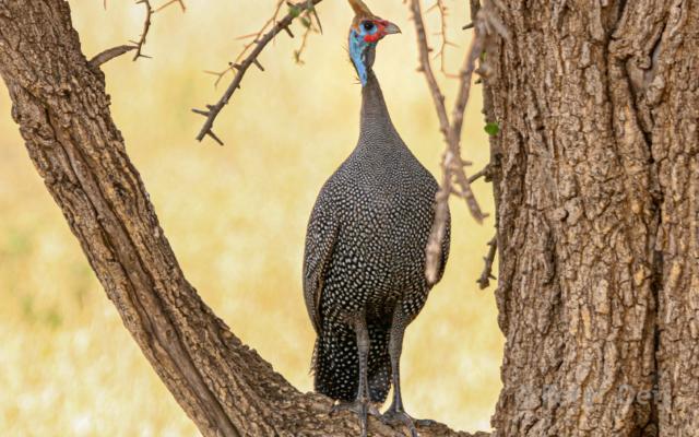 tanzania - 2012-guinea fowl