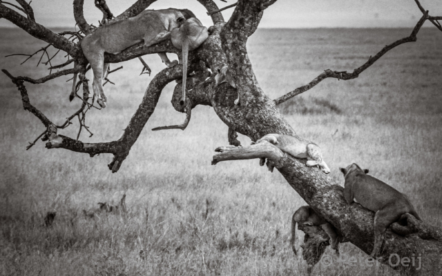 tanzania - 2012-tree lions