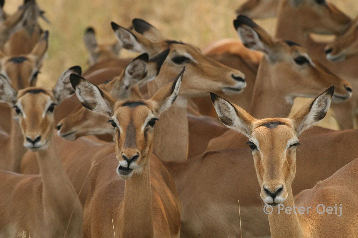 tanzania 2012_wink eye impala