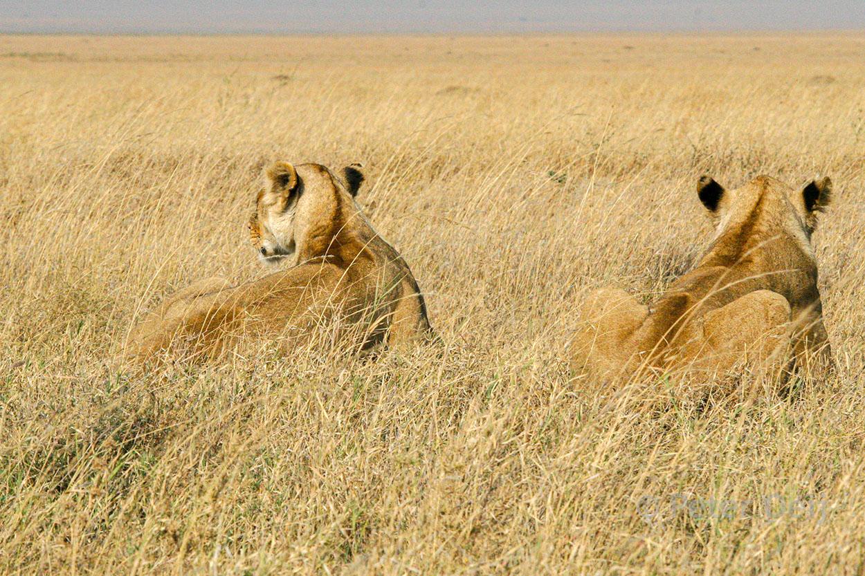 tanzania 2012_two lionnesses