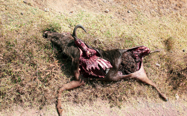 tanzania 2012_wildebeast eaten by lion