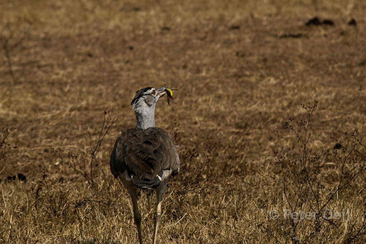 tanzania 2012_bird eating insect