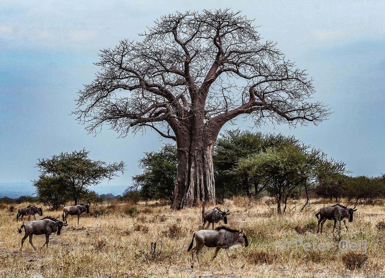 tanzania 2012_baobab tree and wildebeast