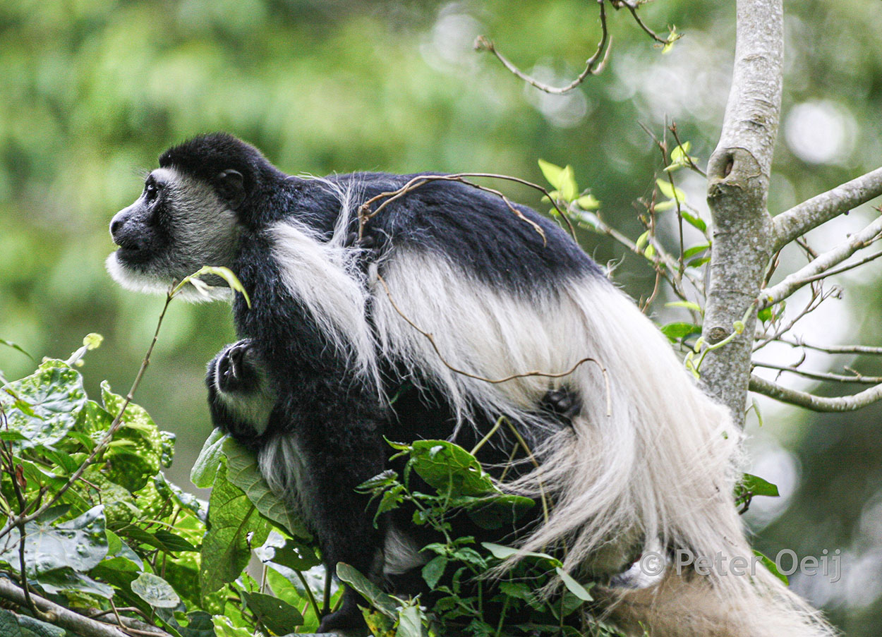 tanzania 2012_colobus monkey with young