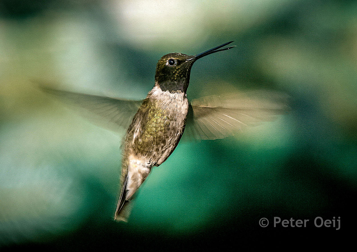 usa 2008_hummingbird
